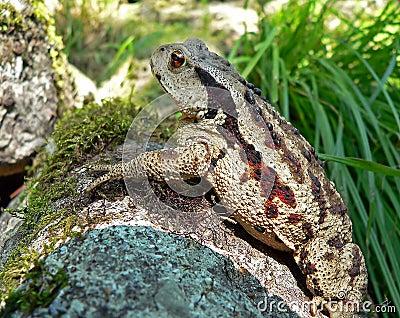 Far-eastern Toad 6