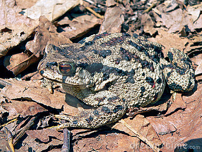 Far-eastern Toad (Bufo gargarizans) 2