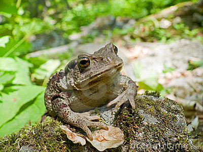 Far-eastern Toad (Bufo gargarizans) 7