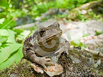Far-eastern Toad (Bufo gargarizans) 7