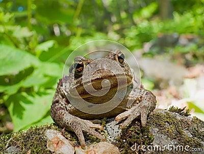 Far-eastern Toad (Bufo gargarizans) 8