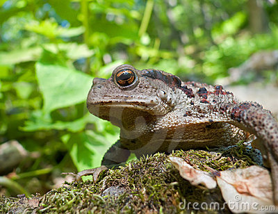 Far-eastern Toad (Bufo gargarizans) 9