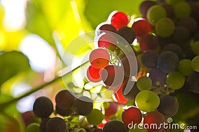 Farbige Trauben