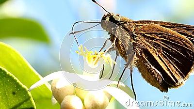 Farfalla che mangia polline del fiore del limone video d archivio