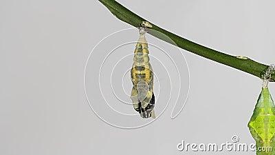 Farfalla della calce che emerge dalle crisalidi
