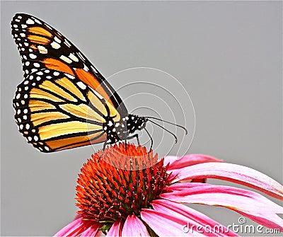 Farfalla di monarca