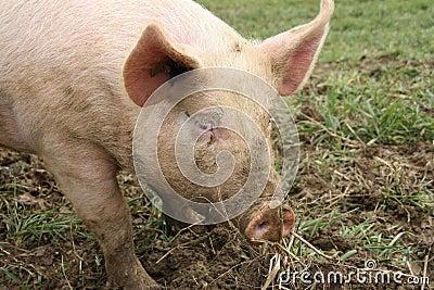 Farm animal - pig