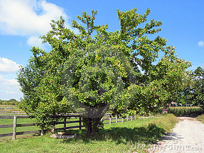 Farm apple tree