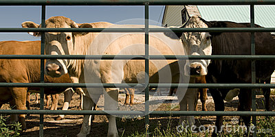 Cows Behind Bars