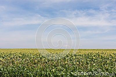 Farm corn field with blue cloudy sky