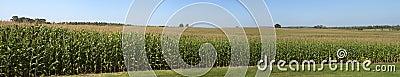 Farm Corn Field Panoramic Panorama Cornfield