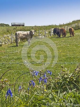 Farm cows cattle grazing in meadow