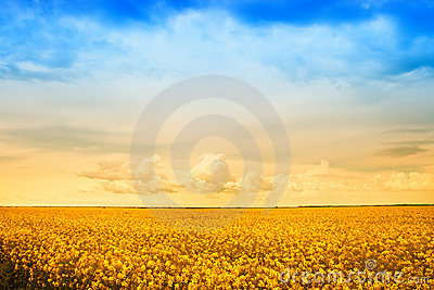 Farm field of golden rape flowers