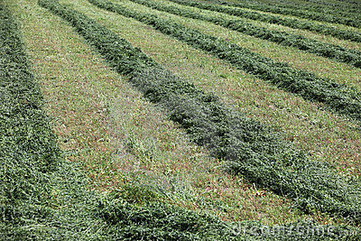 Farm Field With Hay Cut In Rows Stock Images - Image: 10596404