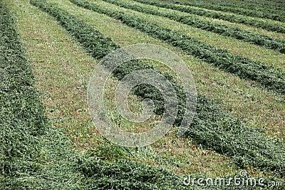 Farm field with hay cut in rows