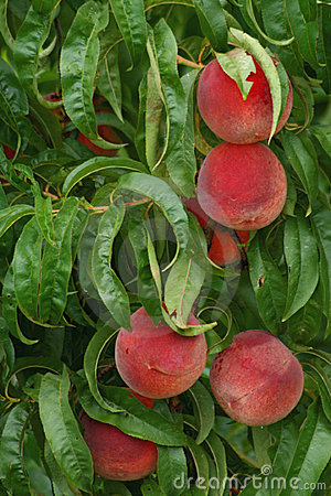 Farm Fresh Peaches ripe on tree