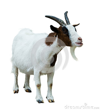 Free Farm Goat. Isolated On White Stock Photos - 45472013