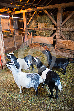 Farm Goats Inside a Barn