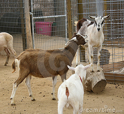 Free Farm Goats Squabbling Stock Image - 748441