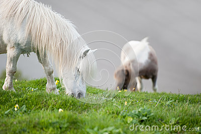 Farm horses grazing in field in Summer