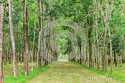 The farm rubber tree.