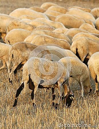 Farm sheeps