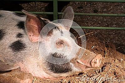 On the farm -sleeping pig