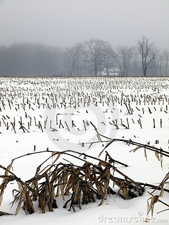 Farm: winter snow corn field