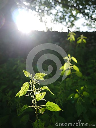 Farm: sunlit nettles in field