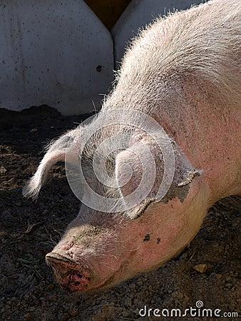 Farm: sunlit pig