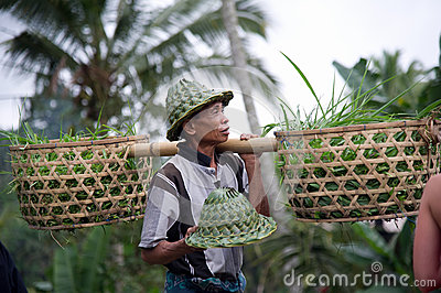 Farmer with basket filled with rice sprouts Editorial Stock Image
