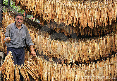 Farmer carrying dry tobacco leaves