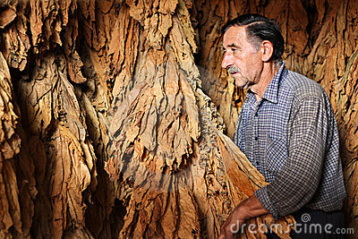 Farmer controls dry tobacco leaf