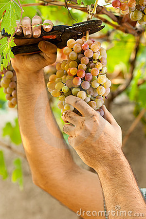Farmer Cutting Grapes