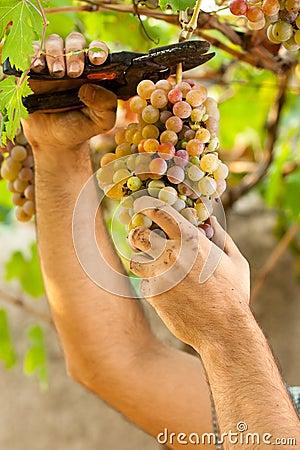 Farmer Cutting Grapes