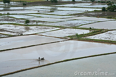 Farmer drives tractor to cultivate on paddy land