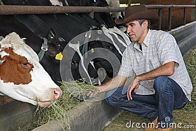 Farmer feeding cows