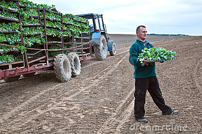 Farmer at field with seedlings of cabbage