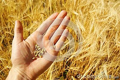 Farmer grain agriculture