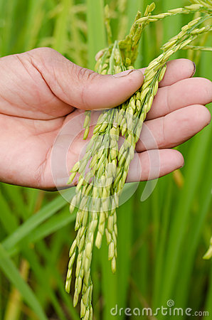 Farmer hand with jasmine rice