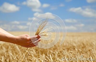 Farmer hands keep crops over field.