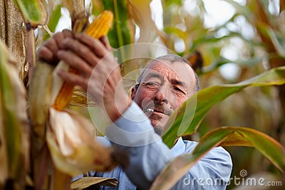Farmer harvesting corn and smoking