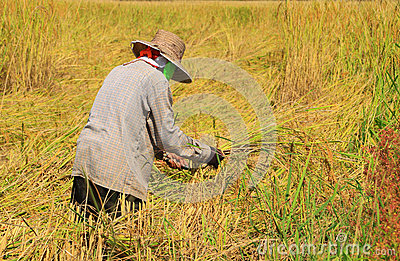 Farmer harvesting rice