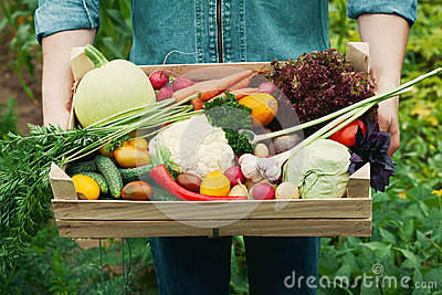 Farmer holding a basket full of harvest organic vegetables and root in the garden. Autumn holiday Thanksgiving. Stock Photo