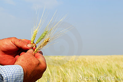 Farmer Holding Durum Wheat