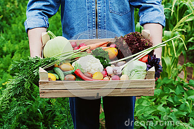 The farmer holds in his hands a wooden box with a crop of vegetables and harvest of organic root on the background of the garden. Stock Photo