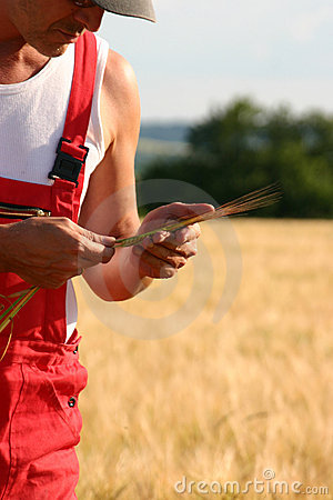 Free Farmer Inspecting The Barley Royalty Free Stock Photos - 522608