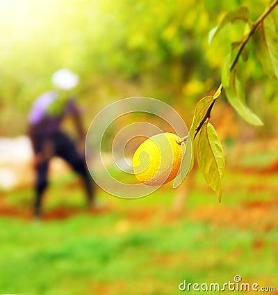 Farmer in lemon garden