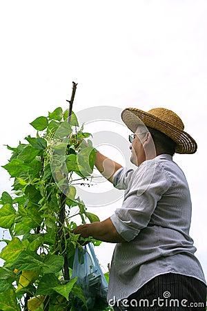 Farmer Picking Haricot
