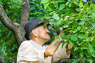 Farmer picking plums